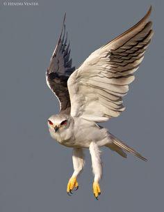Black-Shouldered Kite by Hendri Venter on 500px