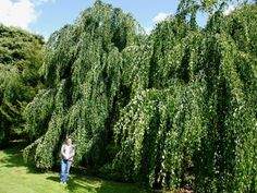 Cercidiphyllum japonicum 'Pendulum' - A beautiful weeping tree with trailing branches and heart-shaped leaves which are tinted red when young and change to lush green by summer. The slender, weeping branches are particularly beautiful when overhanging ponds or streams.