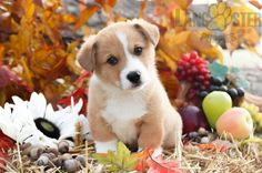 #WelshCorgi #Pembroke #Charming #PinterestPuppies #PuppiesOfPinterest #Puppy #Puppies #Pups #Pup #Funloving #Sweet #PuppyLove #Cute #Cuddly #Adorable #ForTheLoveOfADog #MansBestFriend #Animals #Dog #Pet #Pets #ChildrenFriendly #PuppyandChildren #ChildandPuppy #LancasterPuppies www.LancasterPuppies.com