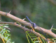 Male Cherokee Skimmer