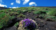Plants on Etna, Viola aetnensis