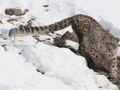 "Snow Leopard there is always a good chance of spotting many other famous and rare animals like ""Nyan"" or ""Tinetan Argali"",(Ovis ammon); Himalayan blue sheep, called ""Bharal"" or ""Napo"", (Pseudois nayaur); Uriel, locally called ""Shapo"" (Ovis orientalis), Asiatic ibex Skin(Capra sibirica), and among the predators are Red Fox, Tibetan Wolf, Lynx, Pallas Cat, and many others."