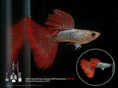 Alpha Pro Breeders  - ATFG Super Red Lace htd Trio, $59.00 (http://www.alphaprobreeders.com/atfg-super-red-lace-htd-trio/)
