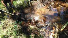Leśnicy z Nadleśnictwa Olecko oraz strażacy uratowali łosia. Zwierzę topiło się w dole wypełnionym błotem. #BłotnaPułapka #Błoto #Leśnicy #Ratunek #Łoś #Bagno #Leśnicy
