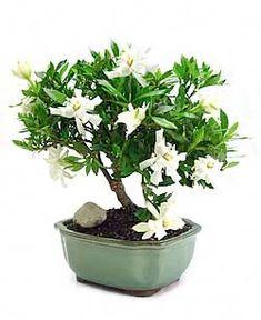 Merveilleux CI Gardenia Bonsai