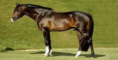 Liocaylon  1992 16.3 Dark Bay Holsteiner Stallion standing at Wild Turkey Farm.