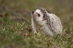 Pygmy Hedgehog Cages and Accessories For Sale Upcoming Artists, New Artists, Pygmy Hedgehog, Hedgehog House, Mammals, Beautiful Pictures, African, Pets, Hedgehogs