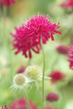 Beemdkroon (Knautia macedonica) jul-sept zon 50-70. mooie plant