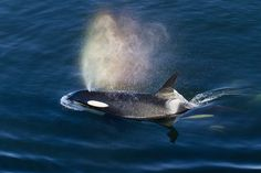 Chinese Company Seeks to Capture Orcas and Hundreds of Marine Mammals in Namibia: photo of orca in the ocean