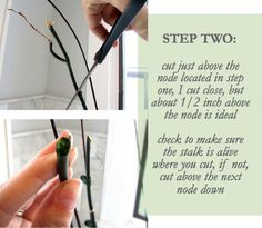 How to revive an orchid  -  luxe + lillies: HOW TO GROW A LOVE FERN [ORCHID]