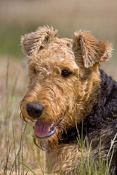 OMG this beautiful Airedale is so cute and looks so much like my sweet Jake who just passed away and I miss him so much