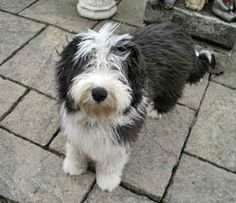 Bearded collie photo | collies bearded collies dogs dylan back 20 of 27 next