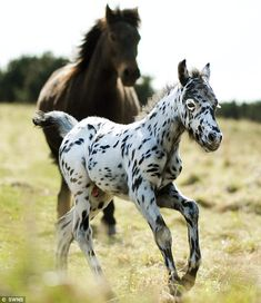 Pongo,aka Spotty, a leopard spot - crossbreed of a Dartmoor pony and British Spotted pony.