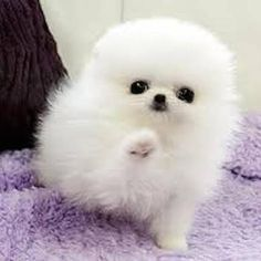 White puppies are cute Cute White Puppies, Cute Baby Dogs, Baby Animals Super Cute, Cute Little Puppies, Cute Dogs And Puppies, Cute Little Animals, Cute Funny Animals, Cute Cats, Tiny Puppies
