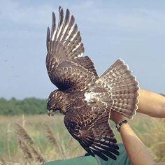 Common Name: BROAD-WINGED HAWK,  Scientific Name: BUTEO PLATYPTERUS