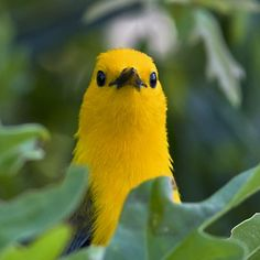 Prothonotary warbler .