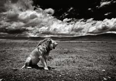 The King - Ngorongoro Crater