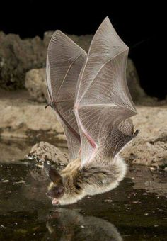 Captured: These amazing shots were captured by wildlife photographer Michael Durham who patiently waited for the creatures to appear jungle awesome book pictures images bat Nature Animals, Animals And Pets, Cute Animals, Small Animals, Murcielago Animal, Beautiful Creatures, Animals Beautiful, Mundo Animal, Bat Animal