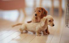 Twee langharige Teckel puppies. Ze zien er zo zacht en lief uit.