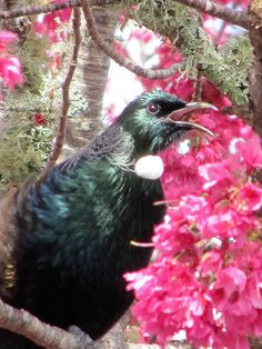 Tui Bird singing in a Flowering Cherry tree Tui Bird, Flowering Cherry Tree, Wild Creatures, Wild Birds, Beautiful Birds, Art Images, Animals And Pets, Singing, Wildlife