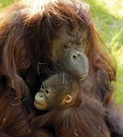 Two beautiful orangutans, mother and daughter. I miss them daily.