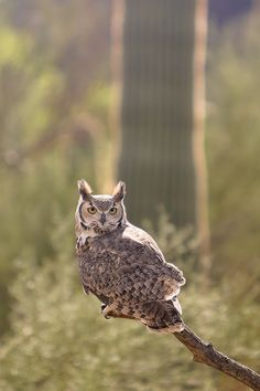 Great Horned Owl at Arizona Sonora Desert Museum (11 Beautiful Things to Do in Saguaro National Park).