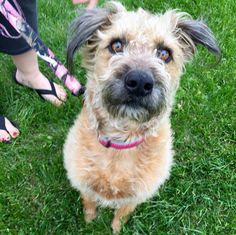 Winnie is an adoptable Wheaten Terrier searching for a forever family near Lisbon, IA. Use Petfinder to find adoptable pets in your area.