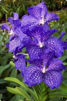Vanda 'Blue Magic' - Orchideen der Schwerter Orchideenzucht