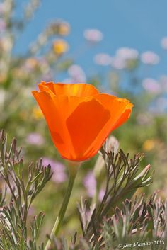 California Poppy, the state flower. I keep meaning to plant some of these, because I think they are really lovely.
