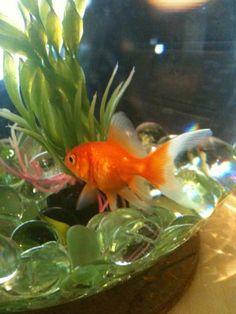 Goldfish Cute Fish, Types Of Gold, Bees Knees, Goldfish, Marine Life, Painting Inspiration, Snapchat, Nature Photography, Fancy
