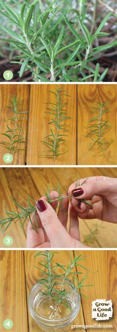 Propagate a ROSEMARY PLANT from Stem Cuttings | Grow a Good Life. COmo hacer platas de romero a partir de una ramita