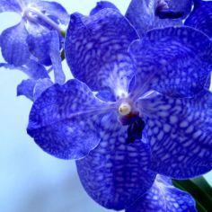 Orchidée bleue : Vanda
