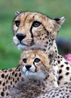 Cheetah Day - in pictures (in Pictures) International Cheetah Day; A mother with a three-month-old cub(in Pictures) International Cheetah Day; A mother with a three-month-old cub Big Cats, Cool Cats, Cats And Kittens, Siamese Cats, Cute Baby Animals, Animals And Pets, Funny Animals, Beautiful Cats, Animals Beautiful