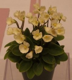 Chantaspring - a trailing African Violet from The Violet Barn