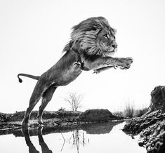 Lion King | The use of remote controls with lions is also dangerous, there is every chance that the lion - on seeing the camera - will attack it.- by David Yarrow