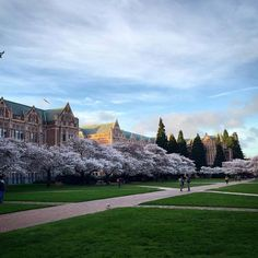 UW Cherry Blossoms 2015 |  Photo by Jaime Luce