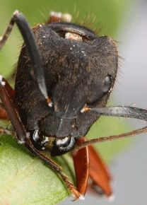 Zombie ant with fungus stalk growing out of his head.photo: David Hughes