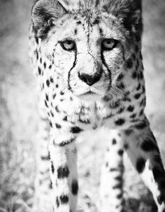 Cheetah Wall Art Black and White Wildlife Decor Photo  by BethWold, $20.00
