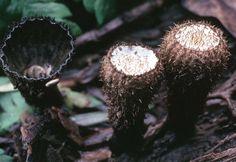 California Fungi—Cyathus striatus