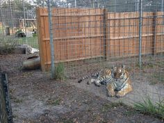 I think they are frenemies ~Keeper Rebecca WThis is Kali Tiger and you can see Zabu Tiger over in the next enclosure.  There is a big space between the two enclosures and Carole's brother even built a wooden privacy fence down the center of that however those two girls still have a keen interest in trying to see what the other one is doing.
