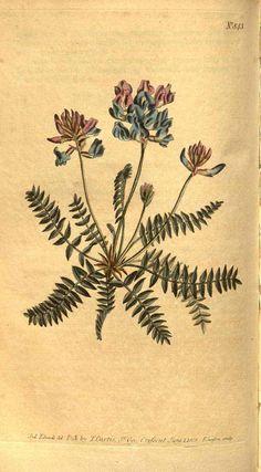 7980 Oxytropis jacquinii Bunge [as Astragalus montanus L.]  / Curtis's Botanical Magazine, vol. 22: t. 843 (1805) [S.T. Edwards]