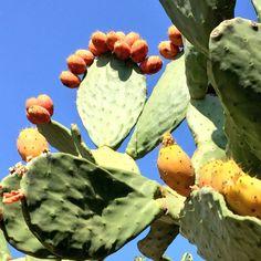 Akdeniz bölgedinde sık rastlanan Frenk inciri, Hint inciri gibi isimleri olan bu kaktüs meyvesinin çekirdekleri vücut tarafından sindirilemez. C vitamini deposu olan bu meyve çekirdekleri nedeniyle çocuk beslenmesi için uygun değildir. Yetişkinlerinde fazla miktarda yememesi önerilir. Çekirdekler bağırsaklarda cerrahi müdahaleye sebep olacak hasarlar yaratabilmektedir. Yetişkinlerin de çok sık yememesi ve 1-2 adeti aşmaması tavsiye edilir.