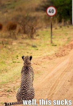 Cheetah and speed limit - SA mag on FB