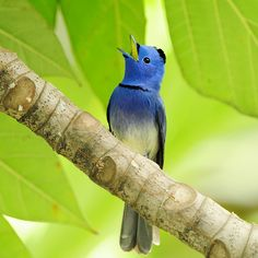 Black-naped Blue Flycatcher  by Sushyue Liao