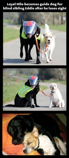 Blind Dog With His Very Own Guide Dog.