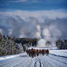 Yellow Stone National Park   Wyoming   USA