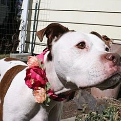 Fort Wayne, IN - American Pit Bull Terrier. Meet Fiona a Dog for Adoption.