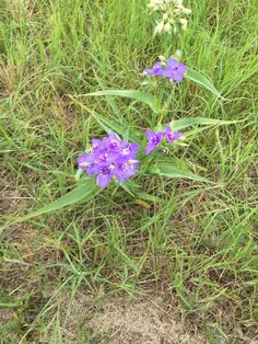 Spiderwort (tradescantia): Tradescantia is a popular garden plant, loved for its grassy foliage, blue, purple, or pink flowers, and easy care. It can spread over time, and prefers full sun and regular water. There are many native varieties available