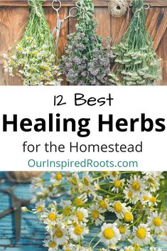 Herbal Medicine Healing herbs are one of my favorite parts of my homestead garden. They're beautiful AND functional. Find out my favorites, plus how I use them. Healing Herbs, Medicinal Plants, Natural Healing, Soul Healing, Healing Quotes, Holistic Healing, Herbal Plants, Natural Herbs, Organic Gardening