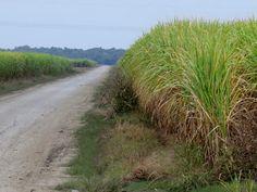 Sugar Cane in Field - 4 - Coastal, The Past, Country Roads, Sugar